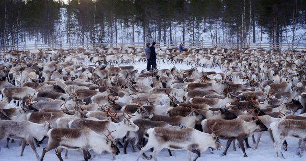 Des rennes irradiés découverts en Scandinavie!