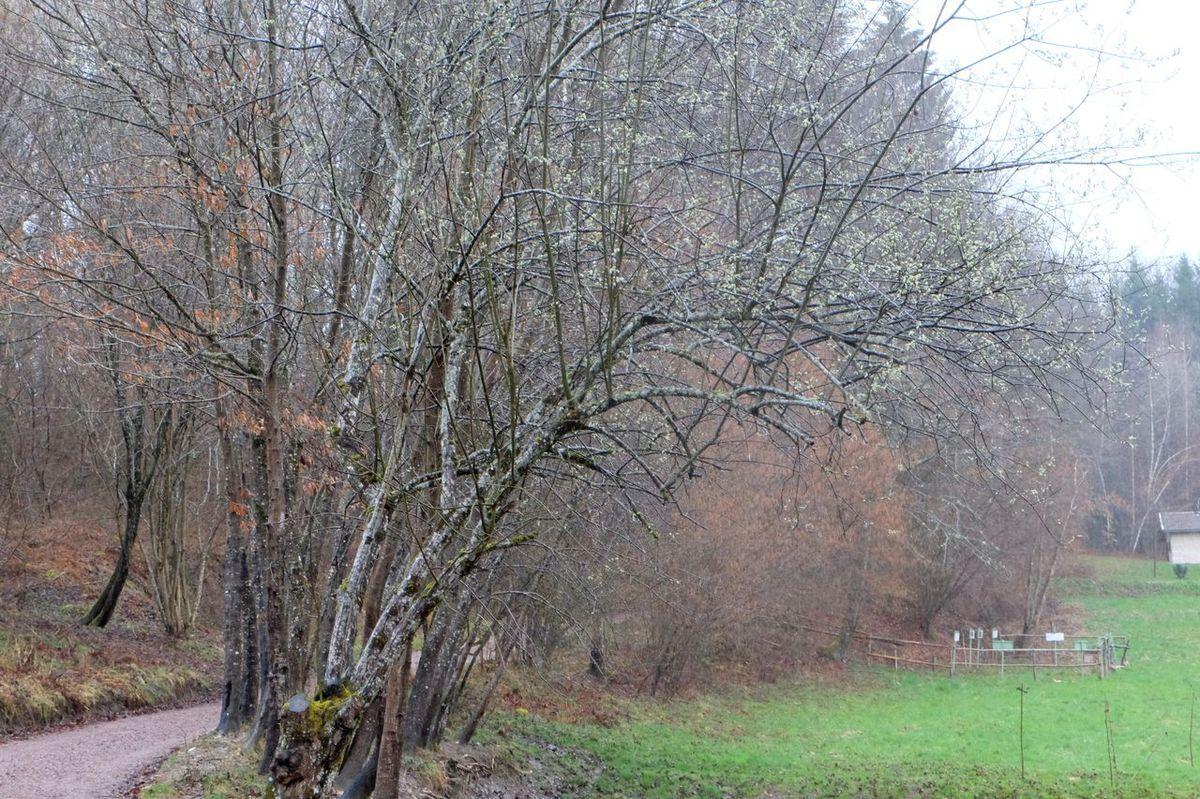 Dans l'anse verdoie un grand chêne