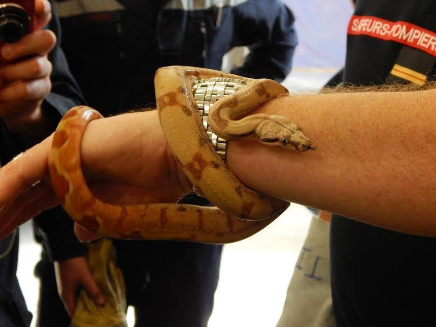 jeunes boas constrictor (espèce exotique)