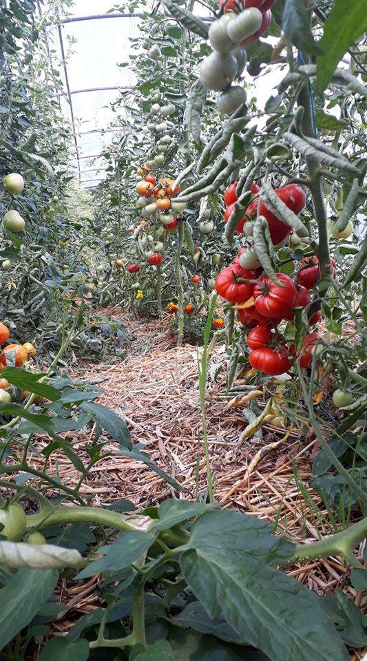 Ferme Saint Joseph - Vente de plants de tomates et Aromatiques