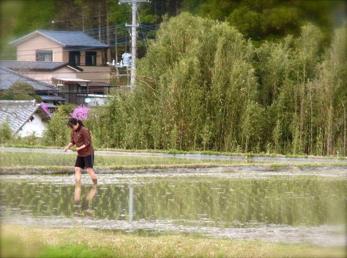 Mai : Saison de la plantation des rizières, Ta-ué 田植え