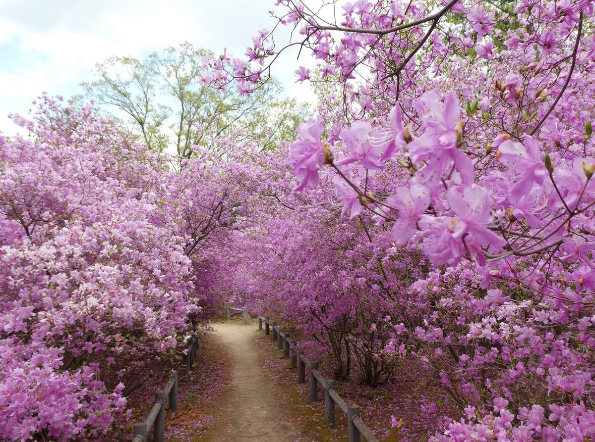 Avril: Nishinomiya: la floraison des azalées Kobanomitsuba dans le grand jardin du sanctuaire Hirota Jinja