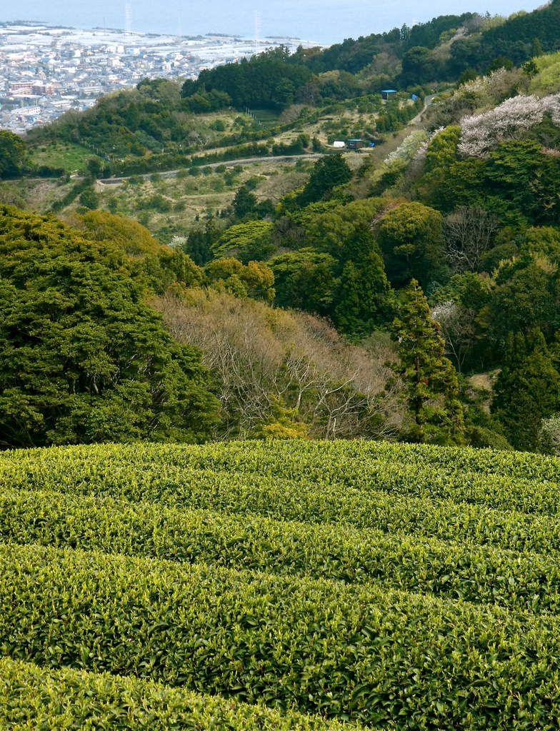 Pref. de Shizuoka: Les champs de thé de Shizuoka