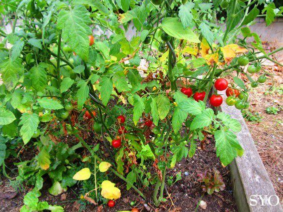 Récoltes au Jardin de Fille,  fin juillet  2017