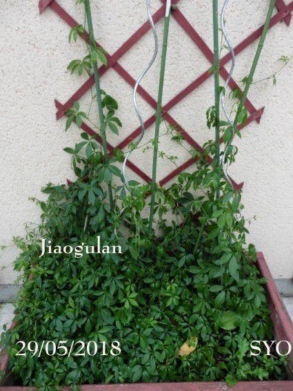 Première récolte du Jiaogulan au Jardin de Fille