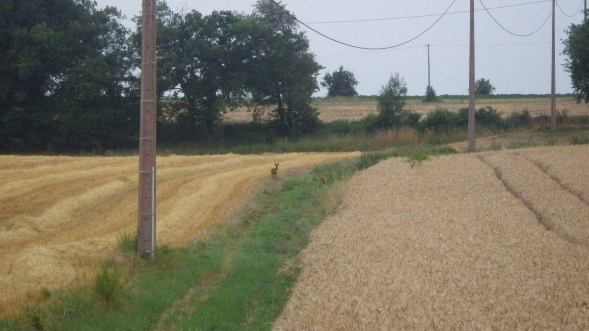 Le vison, le renard et... les ragondins, 27 juin 2015