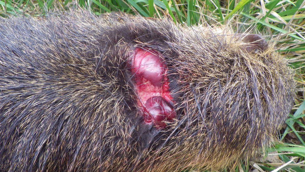 Le ragondin sans nez du bois des Arrauques, 16 novembre 2016