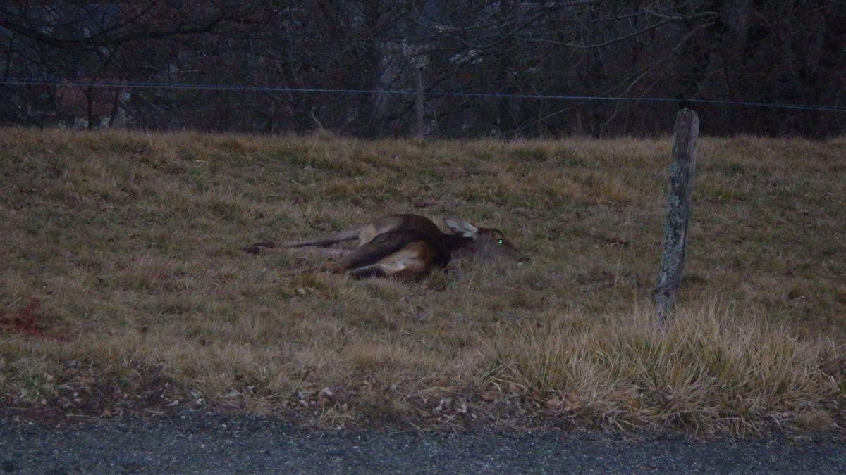 Un faon femelle à l'approche, 30 janvier 2017