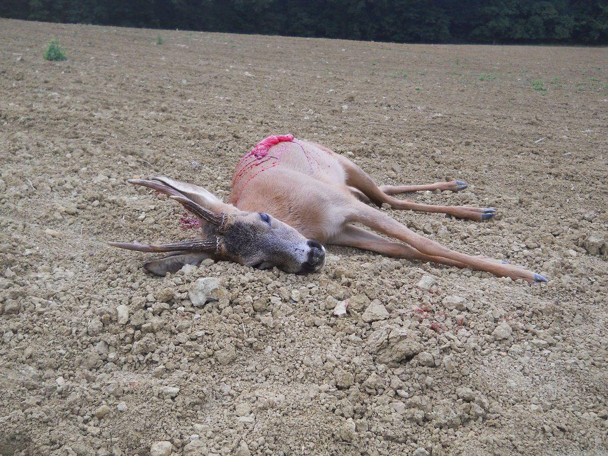 Chevreuil mort à l'endroit du tir suite à une flèche de ¾ arrière touchant la colonne vertébrale et les poumons