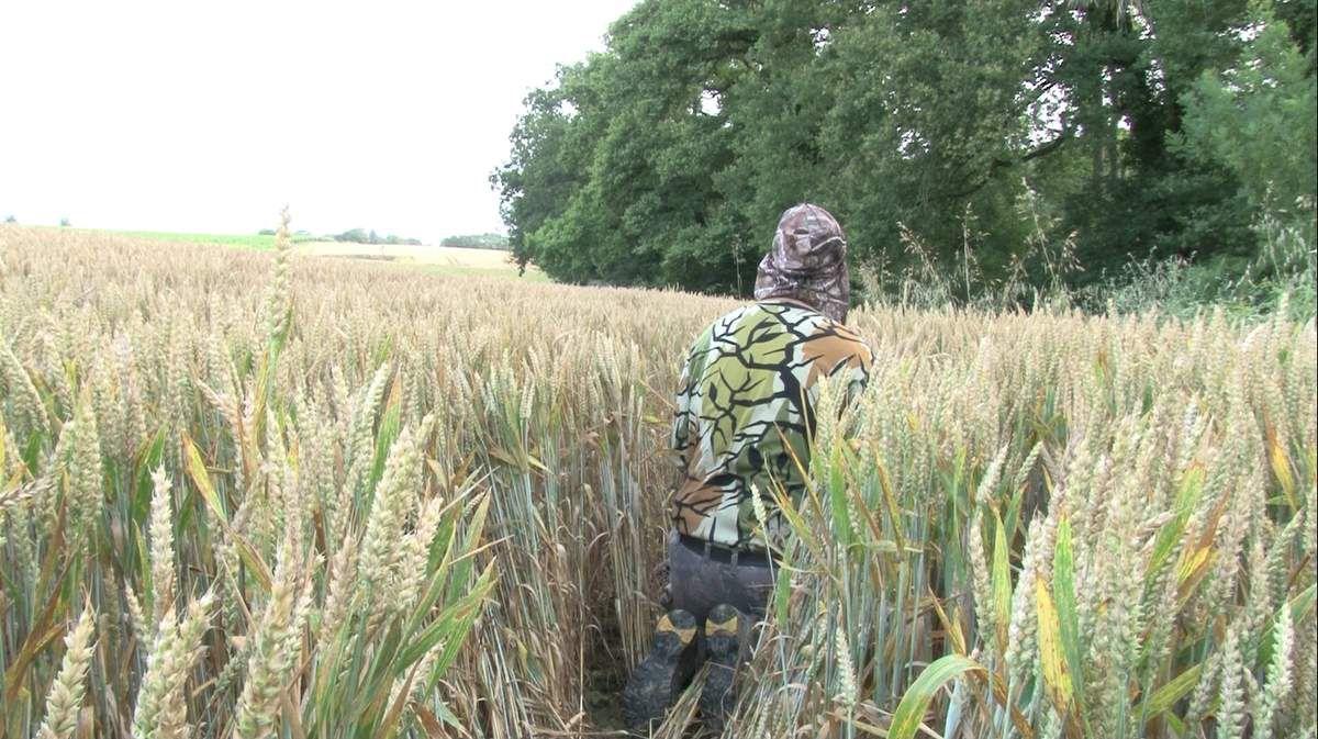 Approche à genoux dans le blé en aboyant.