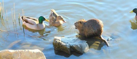 La présence des canards est sécurisante pour les ragondins.