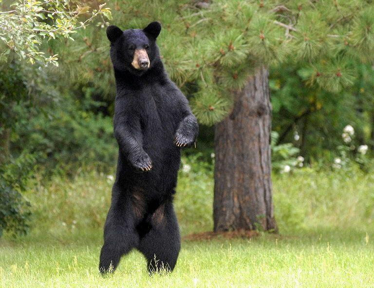 L'ours peut se redresser sur ses pattes arrières