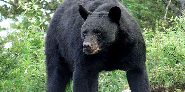 Les mâles ours noir tuent parfois les petits