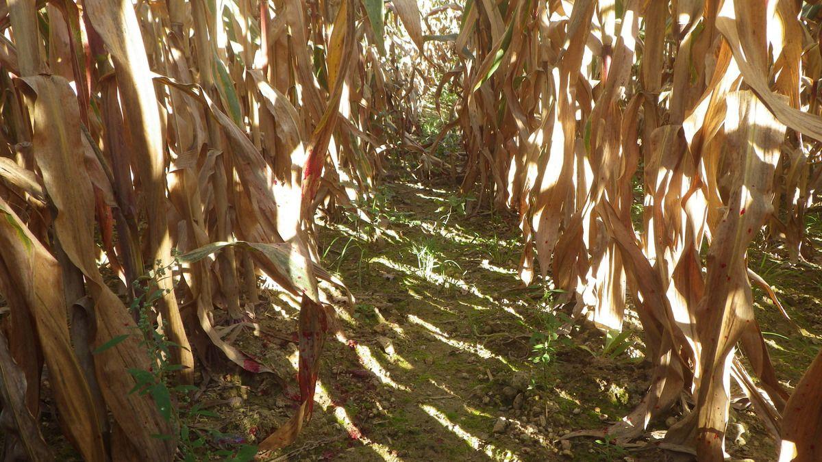 L'animal suit les passage facile comme cet intervalle entre 2 rang de maïs, flèche traversante avec projection de sang des 2 côtés
