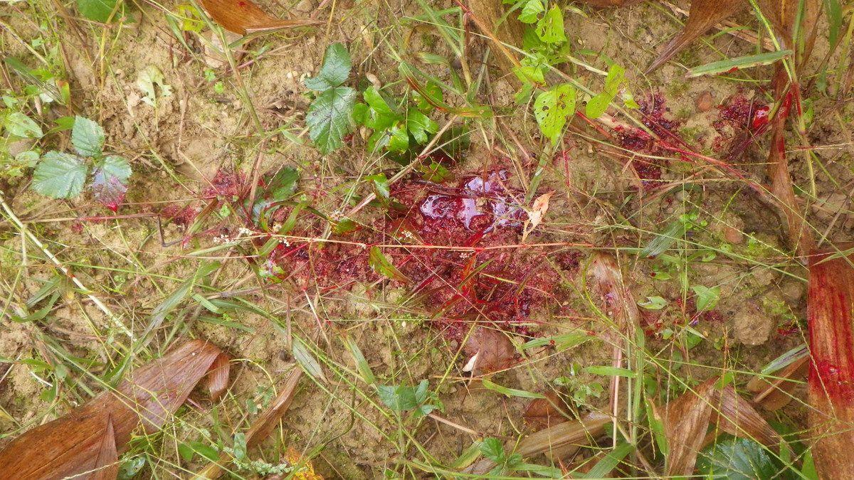 Hémorragie spectaculaire sur plusieurs centaines de mètres puis s'interrompant brusquement suite à une atteinte des muscles recouvrant le sternum d'un sanglier qui ne serra pas retrouvé malgré l'intervention d'un chien de sang.