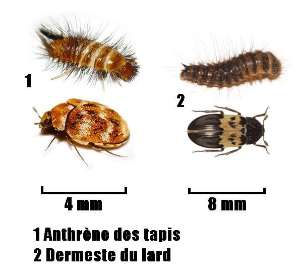 Parasites des peaux et velours naturalisés
