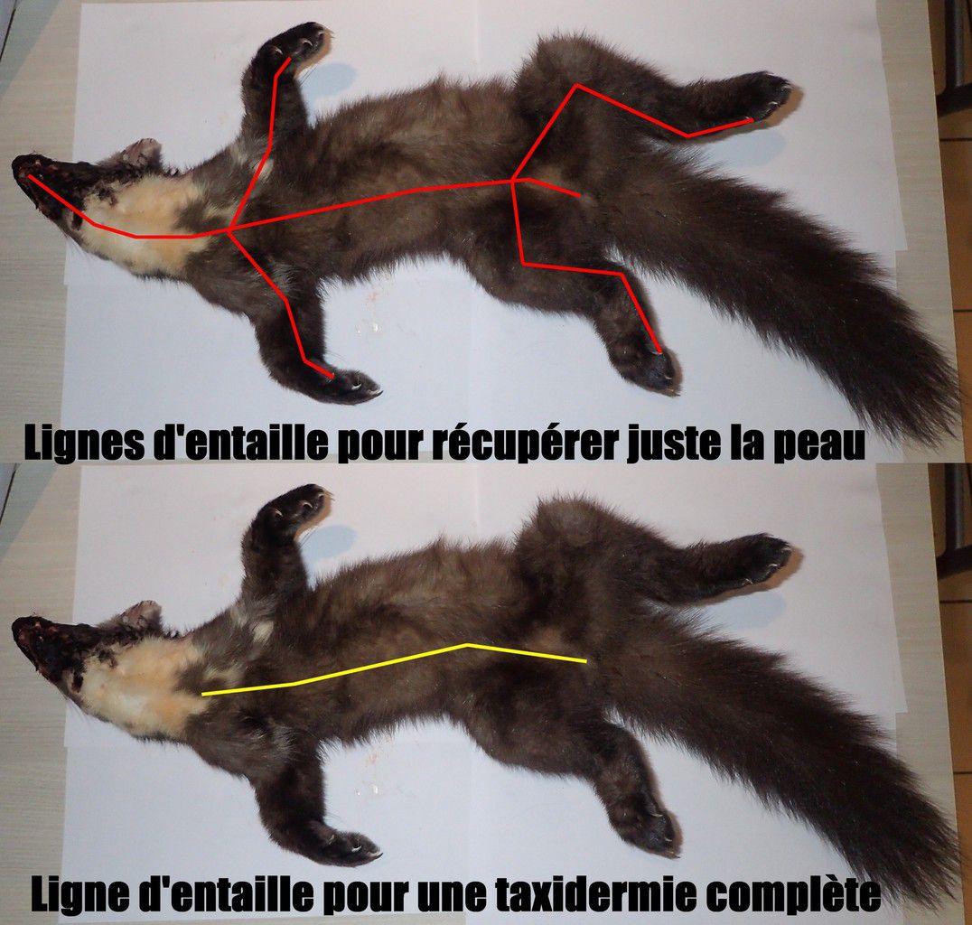 Lignes de découpe de la peau d'un mammifères