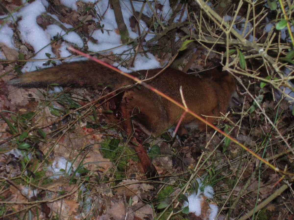 Un renard pour trois ragondins, 14 février 2010