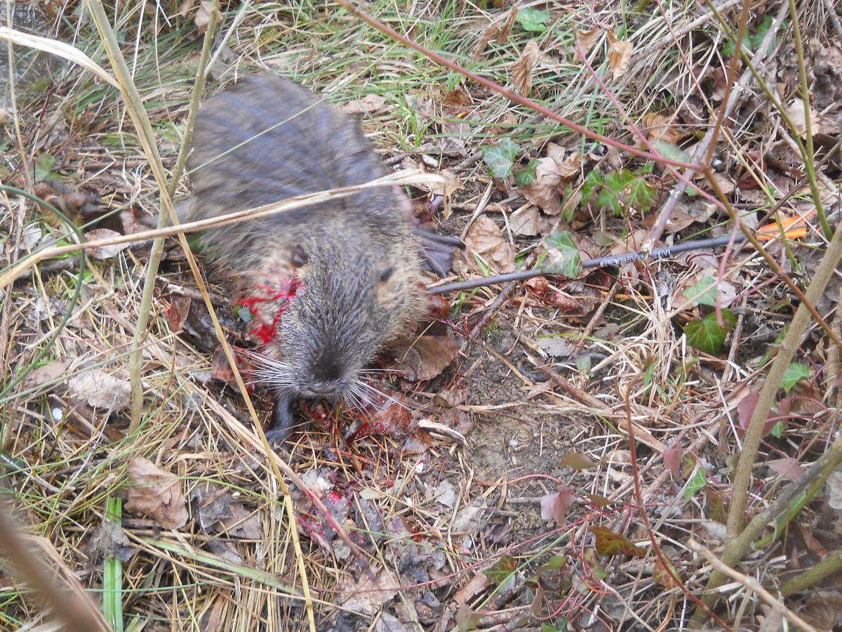 Une belle matinée de chasse au ragondin, 13 mars 2011