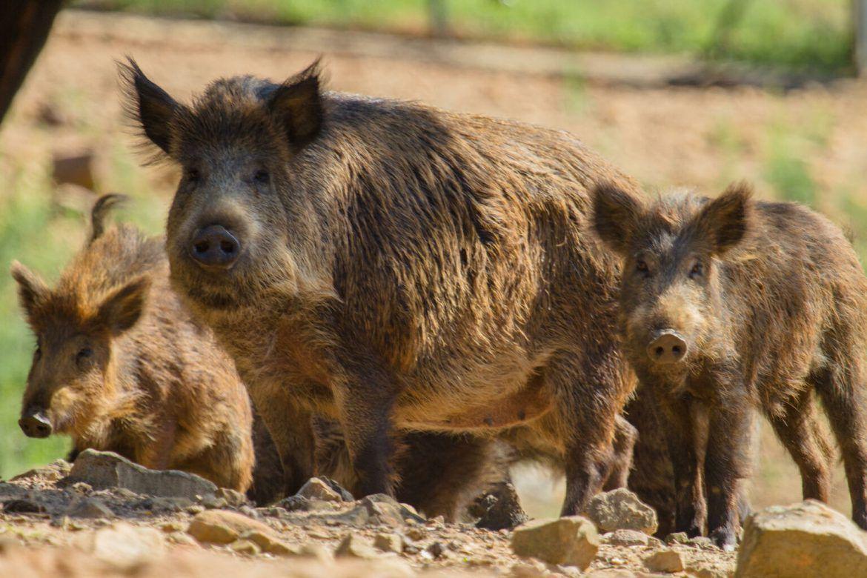 Le cochon sauvage (Chancho cimarrones)