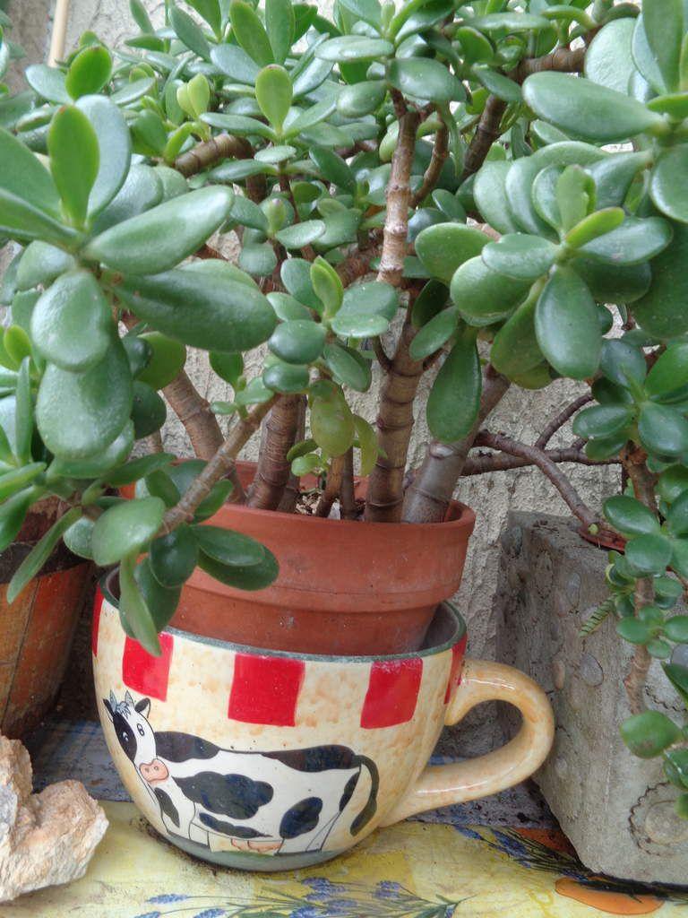 Mes plantes frileuses que je rentre l'hiver .......