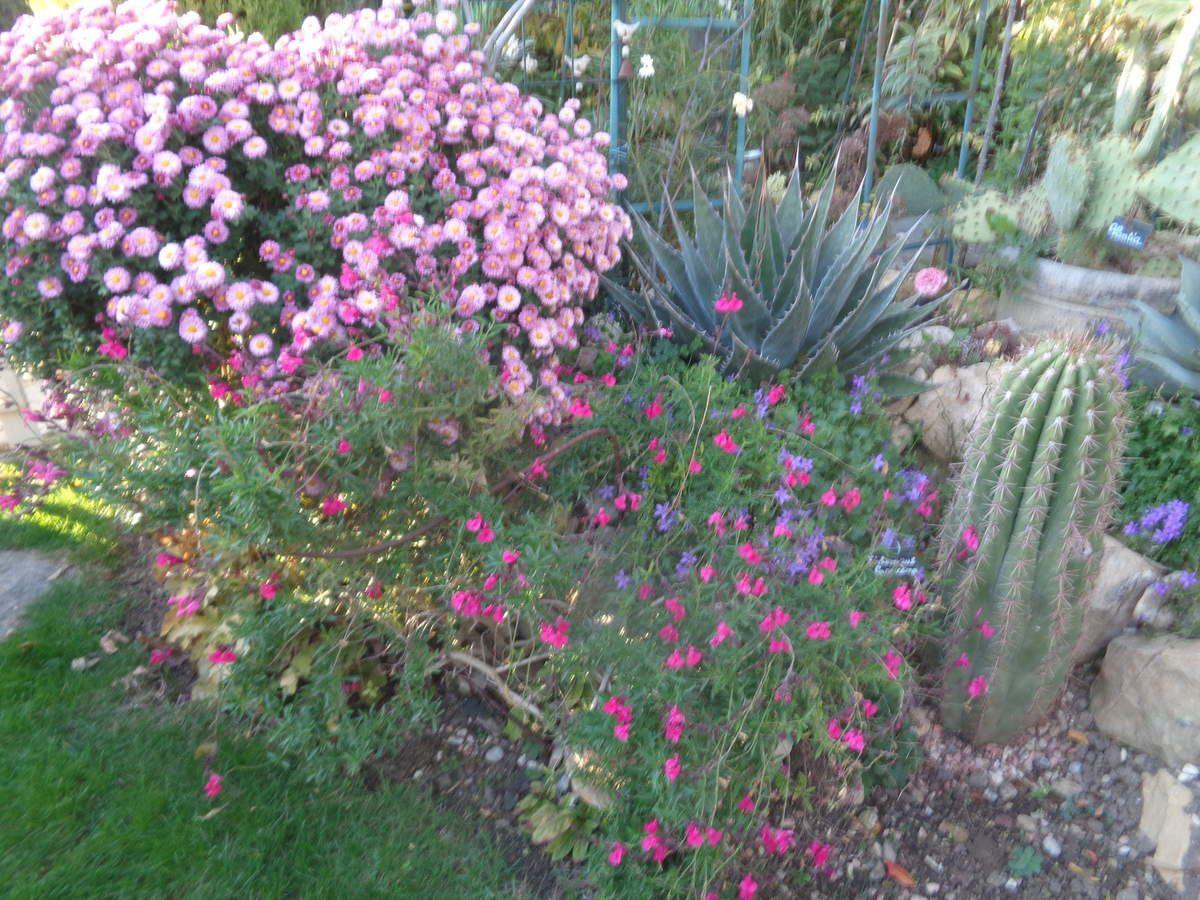 Mon chrysanthème à petites fleurs ....