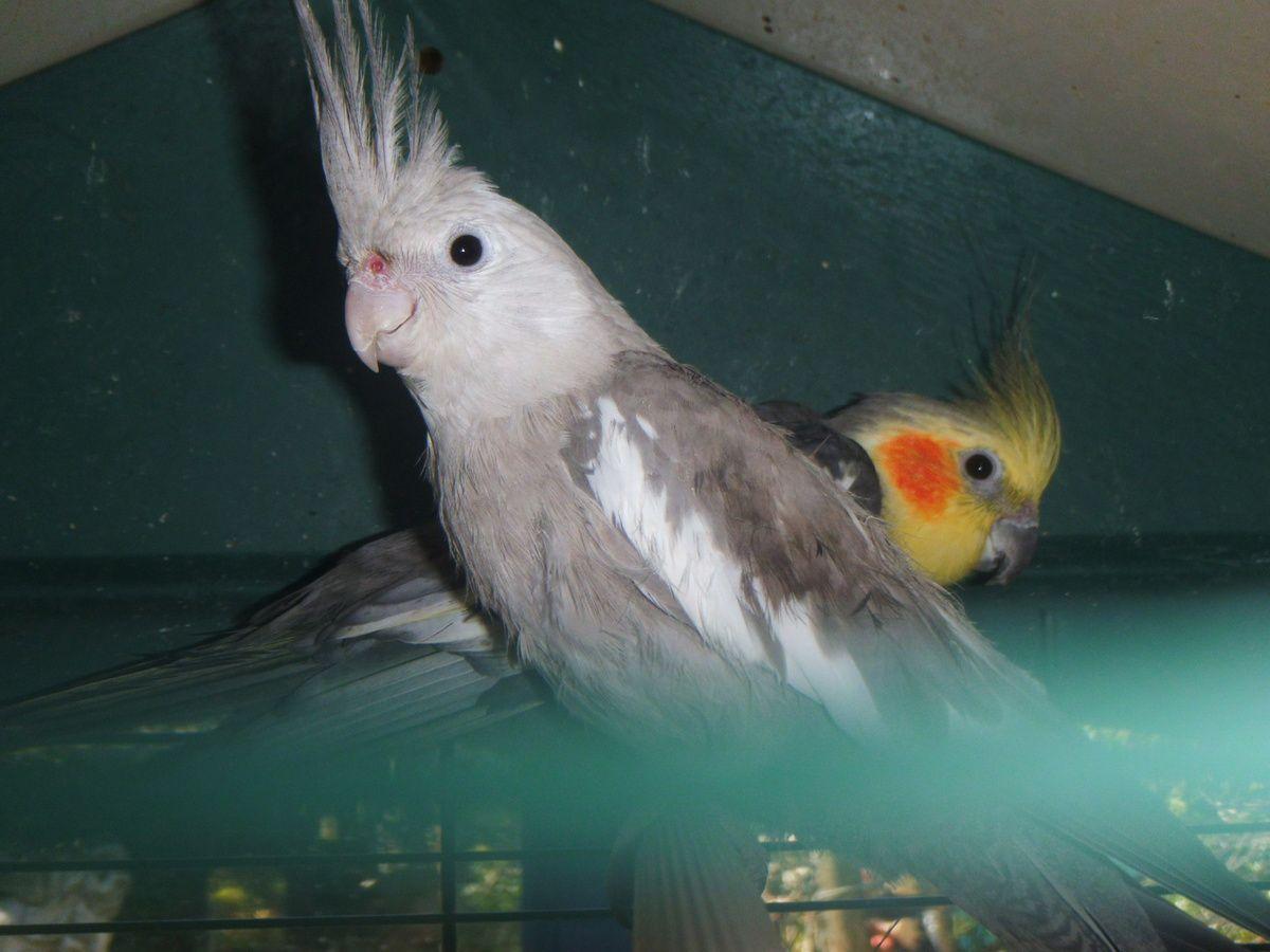 Mes perruches calopsittes