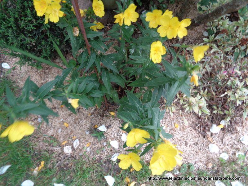 Rustiques et robustes, les œnothères, appelées également onagres, sont remarquables au jardin par la durée de leur généreuse floraison, nocturne et parfumée pour l'espèce bisannuelle, et la facilité de leur culture.