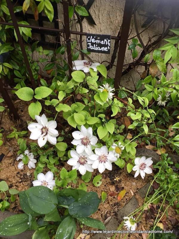 Clématite Juliane  La Clématite Juliane est une des nombreuses variétés d'hybrides de clématite. Celle-ci est une plante grimpante est très florifère. Grâce à sa croissance compacte, elle est appréciée pour les petits jardins et la culture en pot. Facile à cultiver, la Clématite Julianepossède des feuilles formant des rideaux verts et de sublimes floraisons. Les sépales de cet hybride sont de couleur blanche. À taille adulte elle dispose d'une croissance importante entre 1 et 2 mètres. Elle est inodore.