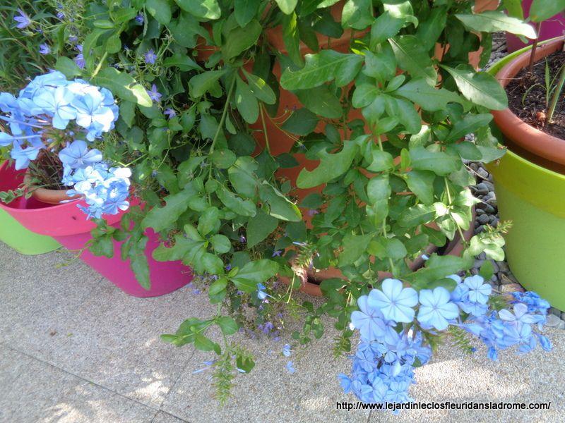Plumbago, dentelaire du cap : superbe grimpante   Le plumbago est une superbe plante grimpante, tant pour ses fleurs que pour son feuillage.  L'entretien, de la plantation à la taille, sont des gestes qui vous aideront à voir une belle floraison.  Nom : Plumbago capensis Famille : Plumbaginacées Type : Arbuste  Hauteur : 1 à 2 m Exposition : Ensoleillée Sol : Ordinaire  Feuillage : Semi-persistant Floraison : Mai à novembre