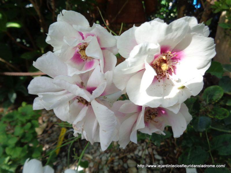 Rosier à fleurs groupées Blue Eyes Ce rosier est une belle nouveauté déclinant différents tons de lavande tout à fait inédits. Hybride du Rosier de Perse, il en possède les fleurs dotées d'un coeur de couleur très contrastée. Ses roses légères aux pétales chiffonnés et aux longues étamines, sont semi-doubles, larges de 5 à 7 cm, avec un centre pourpre-violacé. Leur parfum citronné est prononcé, très agréable. Floraison remontante. Un petit rosier original et très sain, bien adapté à la culture en pots, ainsi qu'aux régions sèches et chaudes