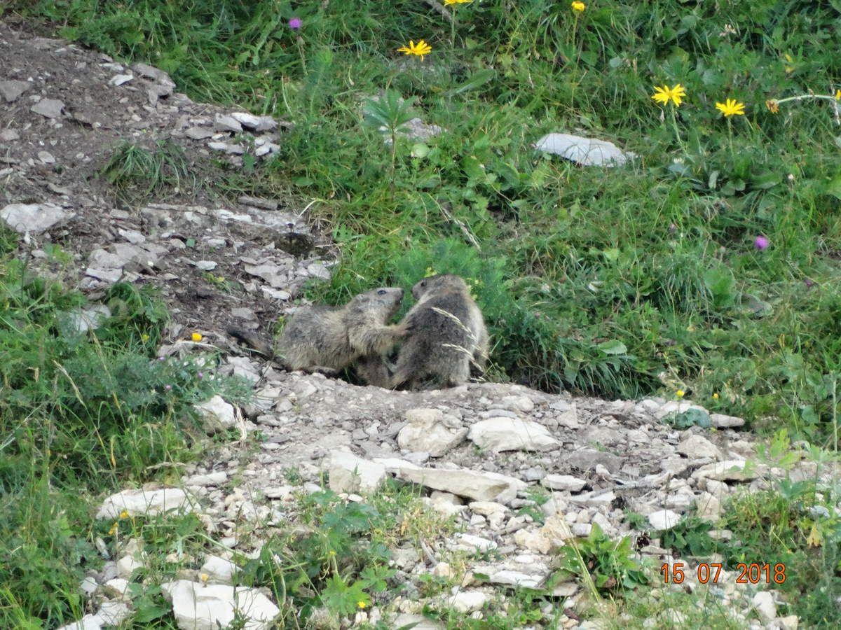 J'étais en admiration devant ces marmottes pendant que Jacques les photographiait ....
