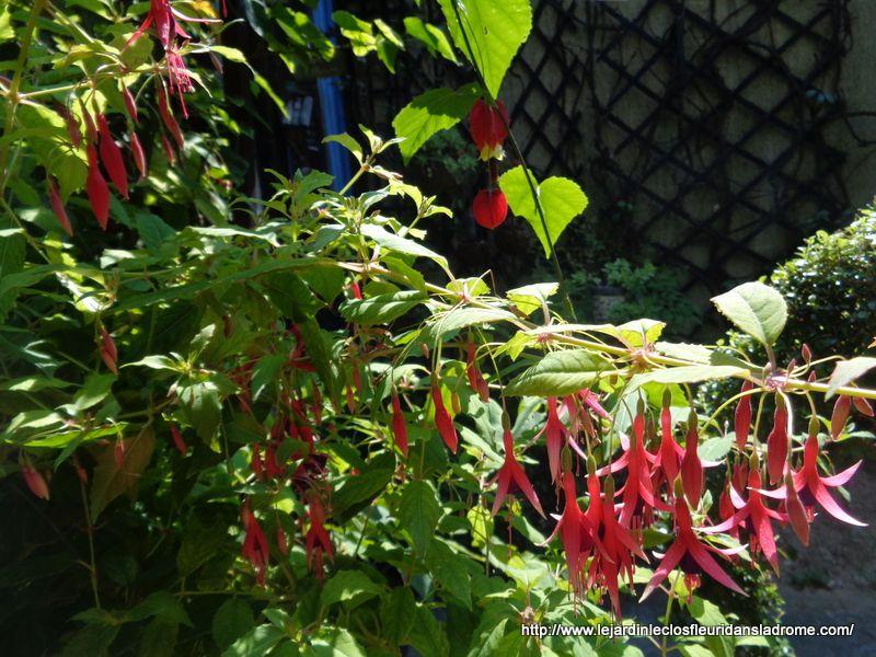 Le Fuchsia magellanica Riccartonii est le plus rustique des fuchsias, il supporte sans problème des froids de -10, voire -15°C en situation protégée.  Il arbore ses adorables clochettes allongées de 3cm une bonne partie de l'été, parfois jusqu'en octobre, une floraison remarquable par sa durée et son abondance. Ses fleurs aux couleurs lumineuses se détachent admirablement de son feuillage.   Arbustif, il dépasse 1,20m de hauteur après quelques années,et peut constituer une haie basse ou un arrière plan de massif. En région très douce, il sera semi-persistant et se comportera en plante sarmenteuse, il pourra atteindre une taille de plus de 2m de hauteur.  Si vous optez pour la culture en pot, pour prolonger la floraison, il vous suffira de le rentrer sous serre, ou en véranda, avant les premières gelées.