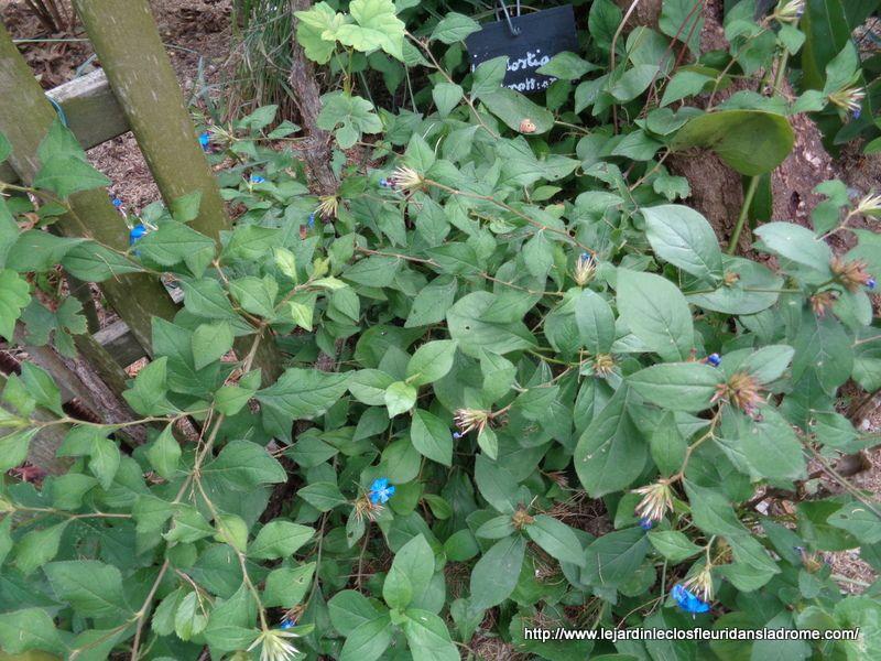 Le CERATOSTIGMA plumbaginoides est une plante vivace au feuillage vert, souvent teinté de sombre au soleil, pourpré en automne et ses fleurs sont bleu gentiane brillant, les calices rouges persistent longtemps. Il s'étend rapidement dans les sols poreux, caillouteux, ensoleillés, certainement un des meilleurs couvre-sols de plein soleil en terrain sec.