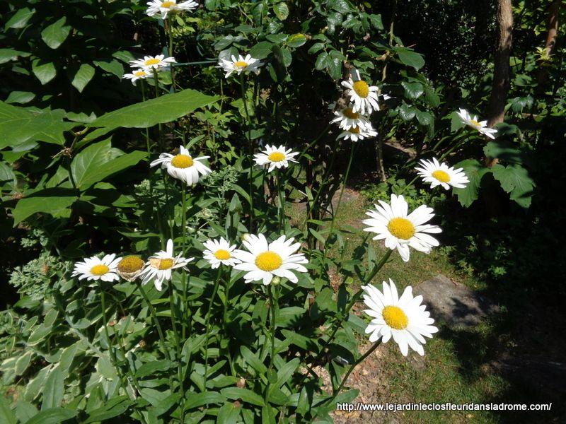 """Marguerite ou grande marguerite (Leucanthemum vulgare) Marguerite ou grande marguerite (Chrysanthemum leucanthemum), fleur du jardin La marguerite commune ou grande marguerite ressemble à la pâquerette mais en bien plus grande ! Elle est aussi appelée Chrysanthemum leucanthemum. Cette vivace rhizomateuse est une """"classique"""" des jardins, très rustique puisqu'elle ne gèle pas mais également bien résistante à la sécheresse : elle se débrouille seule, n'a besoin d'aucun entretien particulier.  Elle réussit très bien en massif comme en bouquets grâce à ses grandes fleurs simples pouvant atteindre 10 cm de diamètre : capitules solitaires portant un disque de fleurons jaune vif et des ligules blanches.  Ses feuilles basales sont lisses, obovales, spatulées, dentées, vert foncé et mesurent entre 2 et 10 cm de long. Famille : Astéracées"""