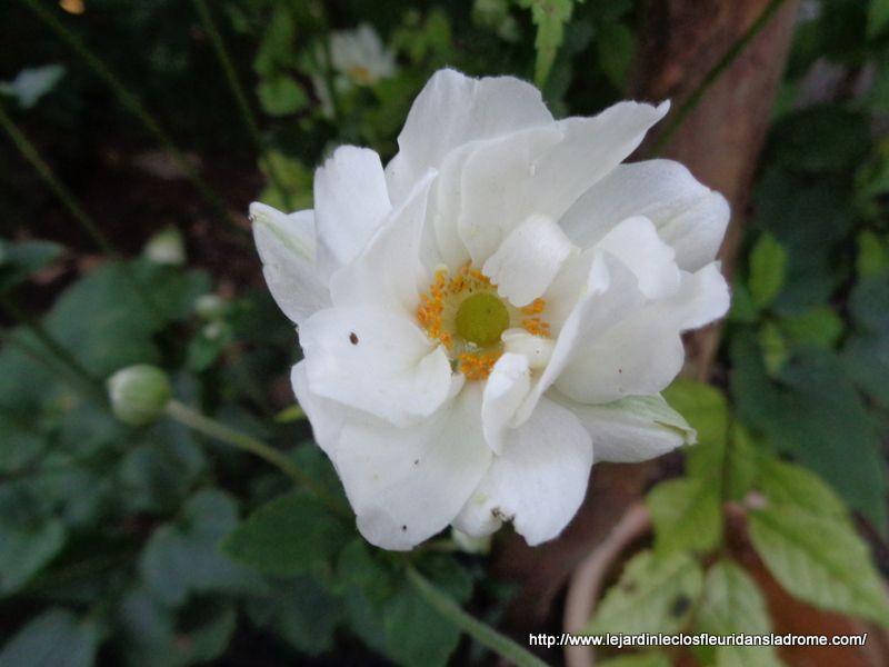 Somptueuses vivaces à la floraison douce et exubérante, les anémones du Japon sont très faciles de culture et ne demandent que peu d'entretien pour devenir très florifères. Le genre anemona est extrêmement vaste, de l'anémone des fleuristes aux espèces couvre-sol des sous-bois. Ici, nous ne nous intéresserons qu'aux anémones du Japon, parmi les plus grandes et les plus majestueuses du genre !  Originaires de l'hémisphère Nord et plus particulièrement de l'ouest de la Chine, elles sont également très cultivées au Japon, d'où leur nom. Pour ce qui est de leur classification, ces anémones font parties de la famille des renonculacées