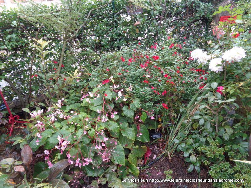 Au premier plan et de couleur rose :   Begonia grandis evansiana La seule espèce de bégonia capable de résister à de fortes gelées. Doté de grandes feuilles en coeur presque phosphorescentes, doublées de pourpre, il anime les endroits légèrement ombragées d'une multitude de petites fleurs nacrées, d'un rose clair, sans interruption de juillet à octobre. Incontestablement gracieux, ce bégonia vivace est également facile à cultiver en pleine terre comme en pots, à mi-ombre dans un sol frais, riche en terreau.