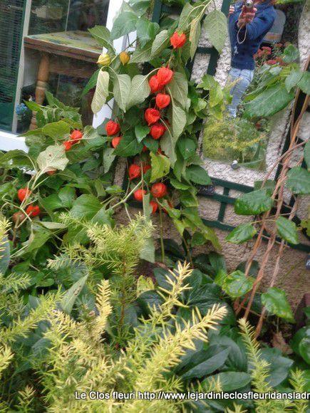 Physalis est un genre de plantes de la famille des Solanaceae. On les appelle couramment Amour en cage, Lanterne japonaise, Lanterne chinoise.