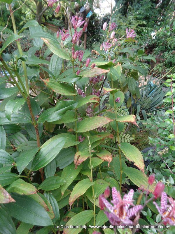 Le Tricyrtis, ou lis des crapauds, est une vivace qui affectionne les lieux humides et ombragés. Ses tiges fines aux feuilles étagées sont surmontées de petites fleurs étoilées aux pétales tachetés apportant une note exotique au jardin.