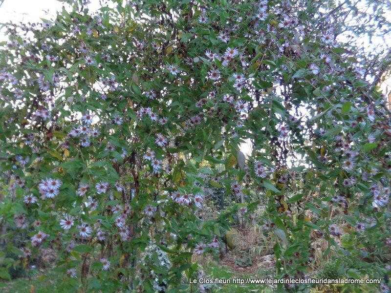 L'aster grimpant''Ampelaster Carolinianus '' toujours fleuri