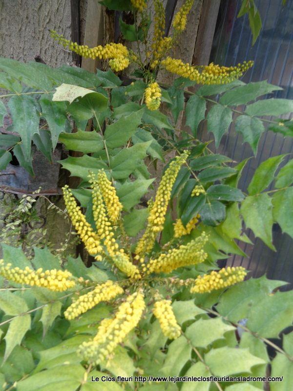 À propos de Mahonia Media Charity Arbuste de port imposant, le Mahonia Media fleurit au coeur de l'hiver en panicules érigées de petites fleurs jaune vif. Feuillage persistant.