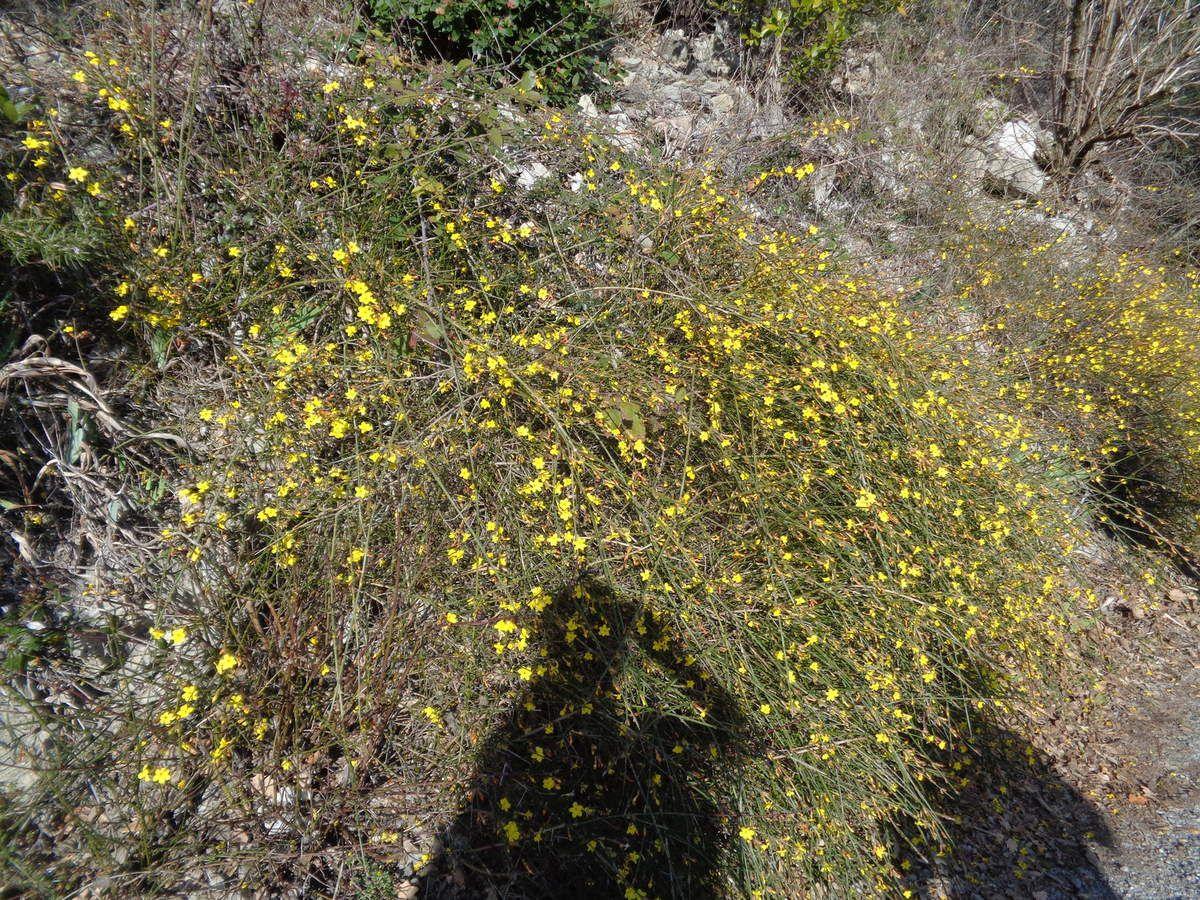 Jasmin d'hiver (Jasminum nudiflorum) ou jasmin jaune.