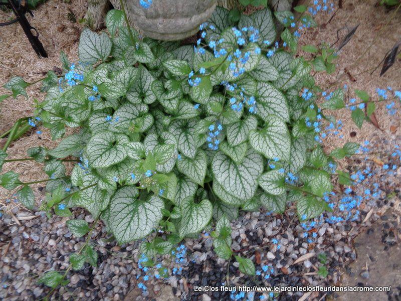 Brunnera macrophylla, le myosotis du Caucase, est une plante vivace appartenant à la famille des Boraginacées. Brunnera macrophylla est couramment appelé aussi buglosse de Sibérie, bien que l'espèce Brunnera sibirica soit distincte de Brunnera macrophylla.  Cette plante vivace est une merveilleuse plante de jardin d'agrément : solide, fiable, au feuillage remarquable. Sa floraison printanière, légère et gaie, ajoute à son attrait.