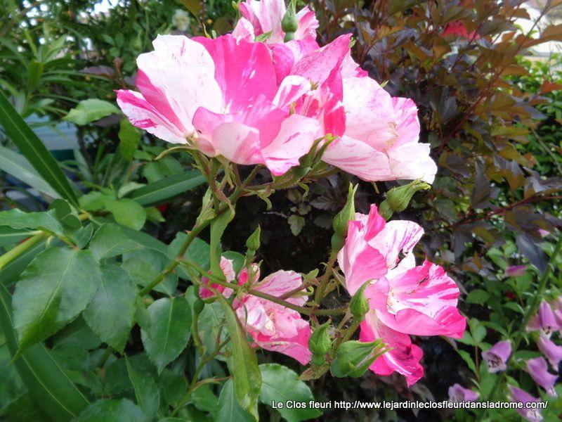 Le rosier Hugues Aufray, création du rosiériste Dorieux en 1996, est un rosier arbustif très vigoureux nécessitant peu d'entretien, au port souple. Ses fleurs sont simples comme de grandes églantines, rose vif foncé strié de blanc. Elles fleurissent en de larges bouquets de 10 à 15 fleurs par tiges. Feuillage vert mat très résistant aux maladies. Il a obtenu une médaille d'or dans la catégorie arbustif en 1999 au concours de Genève.