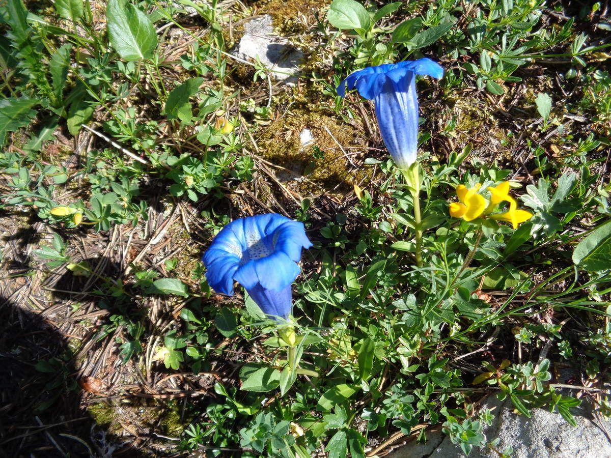 Gentianes bleues . Il suffit de voir  une gentiane, de ce  bleu si typique et on se sent en montagne. Encore un symbole. Étonnant vous ne trouvez pas, à quel point les fleurs, certaines fleurs, sont associées à la montagne?