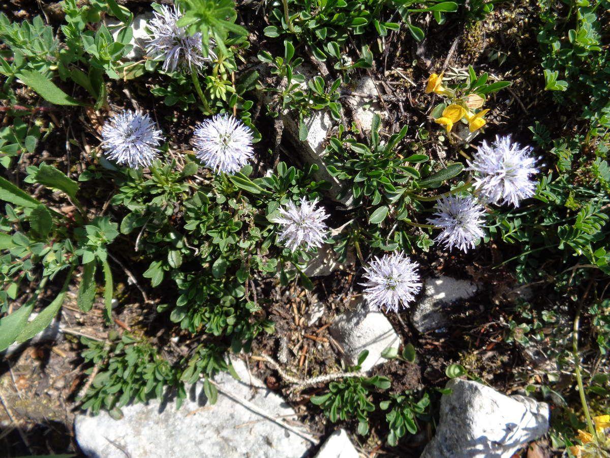 Globularia est un genre botanique de plantes vivaces de la famille des Plantaginacées que l'on peut trouver à l'état sauvage dans pratiquement toute la France. Certaines sont très bien adaptées au climat froid des régions montagneuses (de -15 à -20 °C)