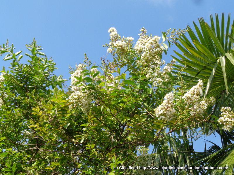 Lagerstroemia nivea : Le genre Lagerstroemia appartient à la famille des Lythaceae. Les plantes de ce genre sont généralement appelées Lilas des Indes. Il comprend des plantes originaires d'Asie et regroupe environ 40 espèces. Ce genre a été décrit en 1758 par Carl Von Linné en l'honneur de son confrère Magnus Lagerström. Le Lagerstroemia indica ou lilas des Indes est un arbuste ou petit arbre à feuillage caduc et à l'écorce beige marbrée. Sa floraison apparaît de juillet/août jusqu'en septembre ce qui en fait une plante idéale pour égayer la fin de l'été. Il est parfois blanc, rose ou rouge grâce aux nombreux cultivars et variétés créés par les horticulteurs. Le Lagerstroemia Nivea est un Lilas des Indes. Il dispose d'une floraison blanche pure d'août jusqu'en septembre. Il dispose d'un feuillage caduc, vert tendre. Cette variété peut être plantée en bac, sur un balcon ou une terrasse, mais également en pleine terre dans un massif ou en isolé.