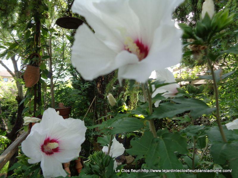Hibiscus Hibiscus syriacus est une espèce d'arbustes du genre Hibiscus et de la famille des Malvacées, originaire des régions tempérées d'Extrême-Orient, très largement cultivée comme plante ornementale dans les jardins.