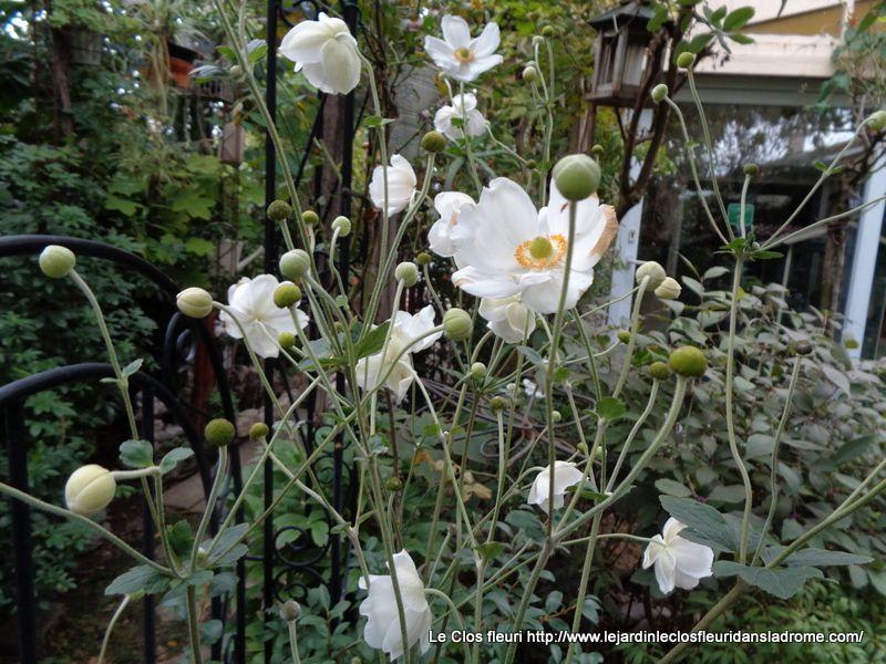 Cette anémone du Japon est un hybride vigoureux, de grande taille, très florifère d'août à octobre. La plante dresse à plus de 1m20 de larges fleurs simples, en coupe évasée, blanc pur, lavées de rose au revers, exhibant une couronne de longue étamines jaunes. C'est une excellente vivace pour la mi-ombre ou l'ombre fraîche, qui peut parfois devenir envahissante là où elle se plaît....