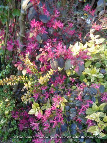 Loropetalum chinense 'Pipa's Red', est une véritable parure pour les fleurs rose-rouge. Non contents d'être très ornementaux, les loropétales sont aussi des plantes robustes qui demandent peu d'entretien, et surfent sur la mode des petits jardins urbains et des balcons végétalisés. Si leur préférence va aux sols frais et légèrement acides, ils sont relativement tolérants, ce qui permet de les adopter dans de nombreuses régions. Offrez-leur une exposition au soleil doux ou à mi-ombre en climat chaud et un sol bien drainé, fertile. En région très froide, plantez-les en situation abritée.